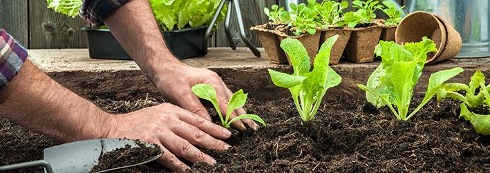 Zwei Hände, die eine Salatpflanze in die Erde setzen